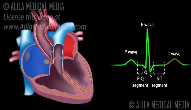 Watch and share Cardiac Conduction System And Understanding ECG, Animation. GIFs on Gfycat