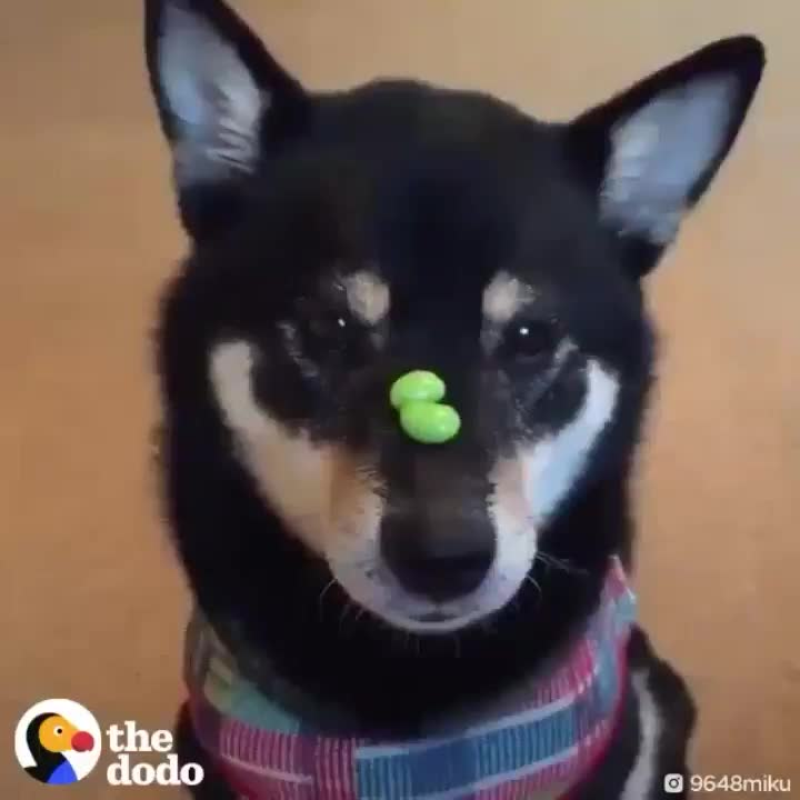 Pupper with the power of catching treats at a superhuman speed GIFs