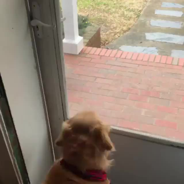 dog, puppy, The excitement of this pupper when they realize their human's home GIFs