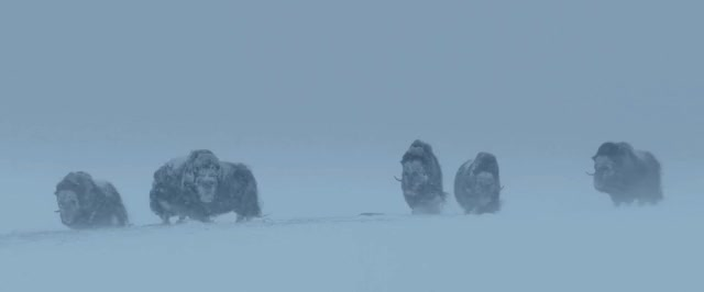 Watch and share Cinemagraph GIFs and Muskox GIFs by Dope-boy on Gfycat