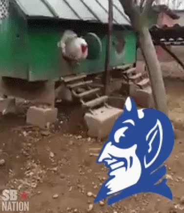 Watch SB Nation GIF - That big 'ol chicken scared Duke straight outta March GIF by @sharingstupidstuff on Gfycat. Discover more CollegeBasketball, Gamecocks GIFs on Gfycat