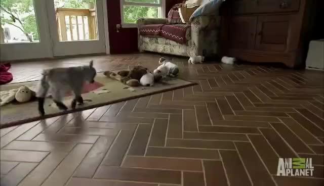 Pipsqueak Headbutts Puppies | Too Cute! GIFs