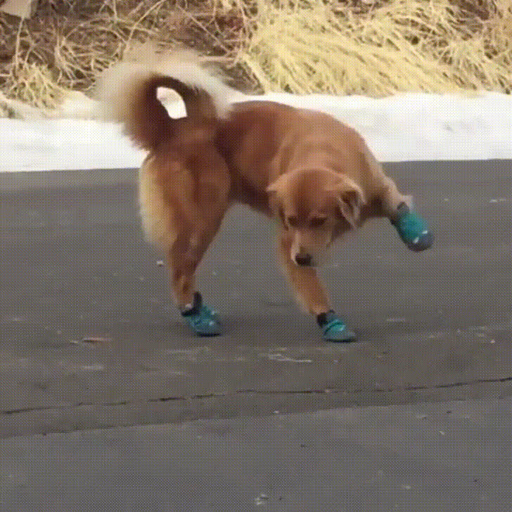 Dog tries wearing shoes, does new-shoes dance. GIFs