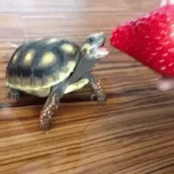 Watch this turtle GIF on Gfycat. Discover more animals, tortoise, turtle GIFs on Gfycat
