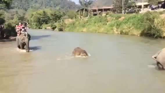 Watch Baby elephant makes a splash GIF on Gfycat. Discover more babyelephantgifs GIFs on Gfycat