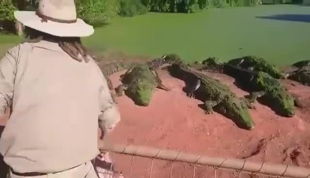natureismetal, [NSFL]Throwing food to hungry crocodiles which don't know the difference between food and friend, WCGW GIFs