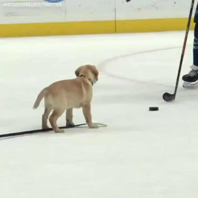 Watch Barclay the St. Louis Blues dog is now a Stanley Cup champion 🏆 GIF by PM_ME_STEAM_K3YS (@pmmesteamk3ys) on Gfycat. Discover more barclay the pup shows up at st. louis blues practice, hockey GIFs on Gfycat
