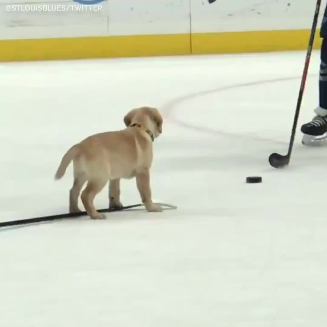 barclay the pup shows up at st. louis blues practice, hockey, Barclay the St. Louis Blues dog is now a Stanley Cup champion 🏆 GIFs