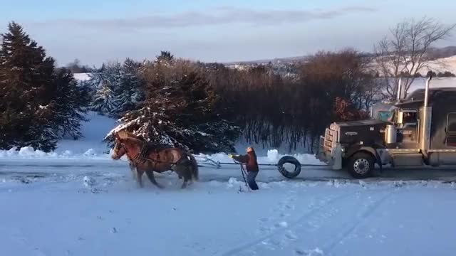 Watch and share Team Of Horses Pulling A Semi Truck And Trailer. Horsepower! Look At Molly And Prince Go! GIFs by PM_ME_STEAM_K3YS on Gfycat