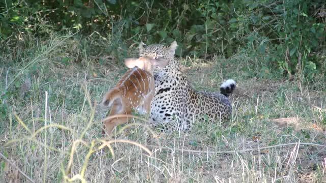 Leopard and baby buck nature kill bush baby buck Pets & Animals Leopard Dan Joffe Africa GIF