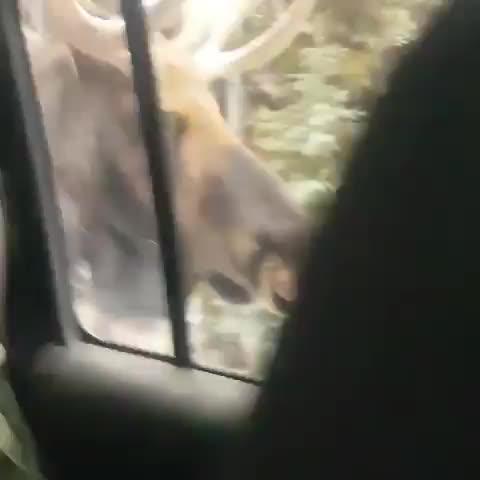 nature, Massive, beautiful moose checking out its reflection GIFs