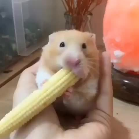 Watch and share Hamsters Carry Food To Their Underground Storage Chambers Using Their Spacious Cheek Pouches. GIFs by GIFs For Everything on Gfycat