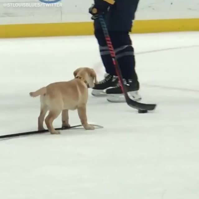 Watch Barclay the St. Louis Blues dog is now a Stanley Cup champion 🏆 GIF by PM_ME_STEAM_K3YS (@pmmesteamk3ys) on Gfycat. Discover more barclay the pup shows up at st. louis blues practice, hockey, pmmesteamk3ys GIFs on Gfycat
