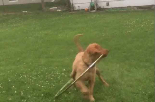 animalsbeingderps, Puppy trying to hoolahoop GIFs