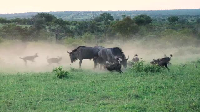 Watch and share Wild Dog Pack Challenges Wildebeest GIFs by Londolozi Game Reserve on Gfycat