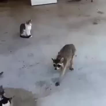 Watch this racoon GIF on Gfycat. Discover more lol GIFs on Gfycat