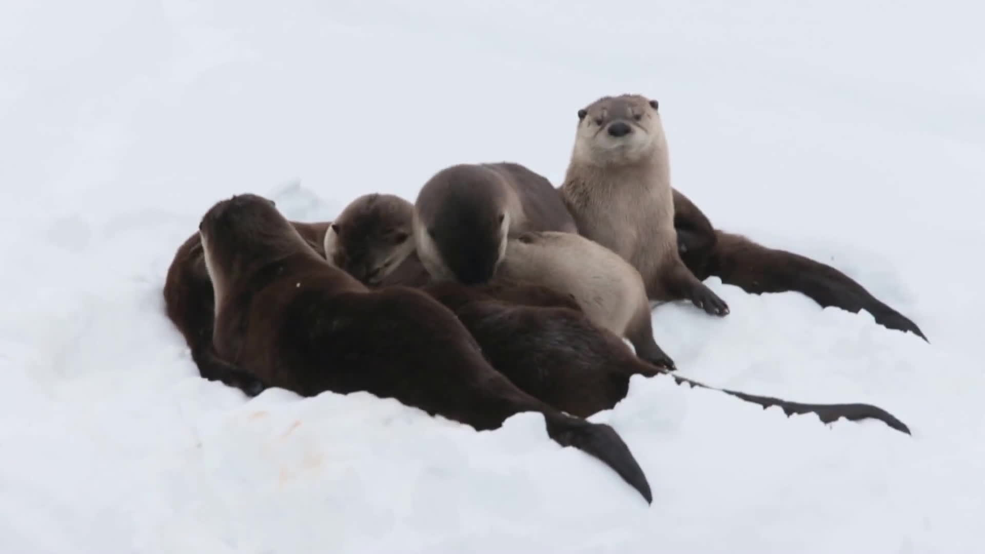 cute, teton national park, wyoming, North American river otters GIFs
