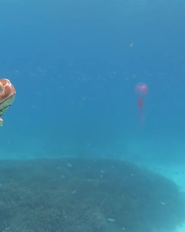 Hungry sea turtle. GIFs
