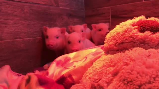 Watch @azmicrominipigs GIF by m'vanilla (@uncommonvanilla) on Gfycat. Discover more AZ Micro Mini Pigs, pig, piglet, pigsofinstagram GIFs on Gfycat