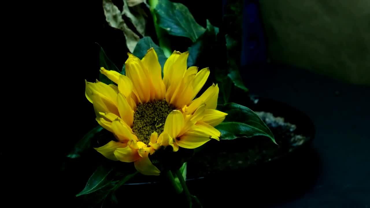 Growing, anthesis, bloom, bud, chlorosis, flower, garden, girasol, green, growing, helianthus, heliotropism, hojas, mini, nastism, petals, semilla, stamen, talo, time-lapse, tropism, 8 GIFs