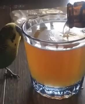 Watch and share Thirsty GIFs and Bird GIFs by nyctilaur on Gfycat
