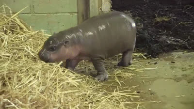 baby hippo GIFs