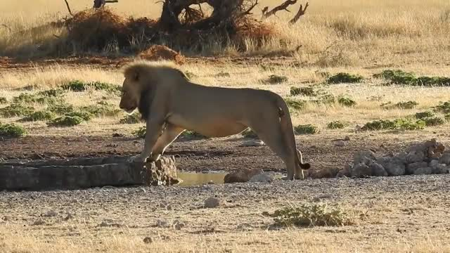 Watch Lion had jumped into position to drink from a tank, now he has to get back without wetting his paw (reddit) GIF on Gfycat. Discover more related GIFs on Gfycat