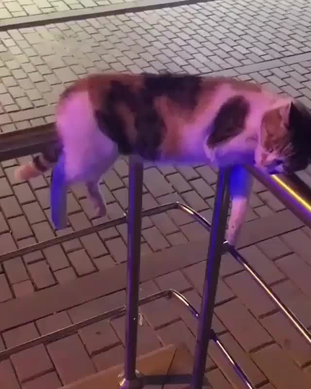 Railing cat checks IDs and accepts tummy rubs for entry into the nightclub GIFs