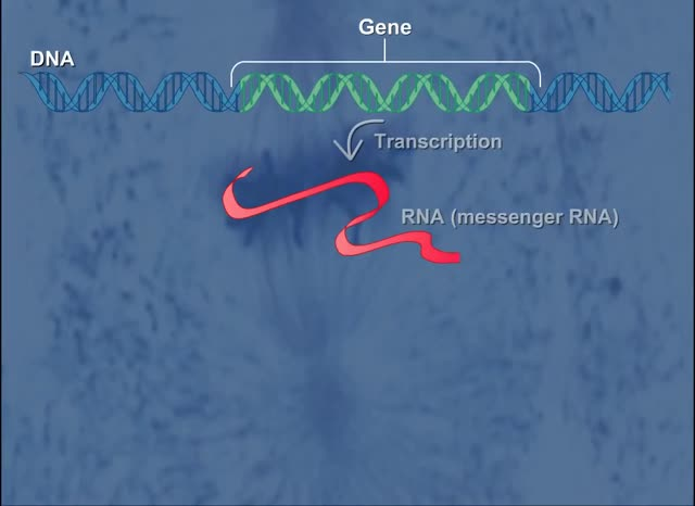 Watch and share Simple Gene Expression HD Animation GIFs by The Livery of GIFs on Gfycat