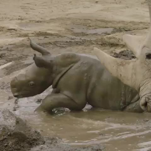 endextinction, san diego zoo safari park, savethechubbyunicorns, sdzsafaripark, What's more fun than playing in mud? Watching a Southern White Rhino calf play in mud! UPDATE: 13-day-old southern white rhino calf, Edward, GIFs