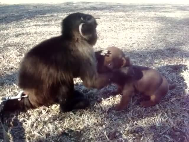 aussie, aww, mini, Mali monkey playing with a dachshund puppy GIFs