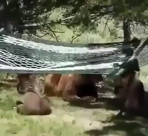 bears, nature, Bear cubs discover a hammock GIFs