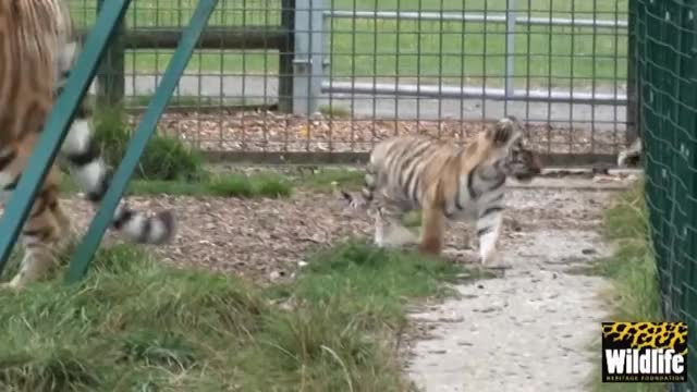 Watch and share Ronja GIFs and Tiger GIFs on Gfycat