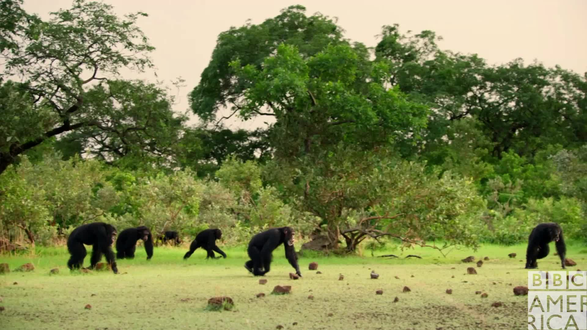 animal, animals, bbc america, bbc america dynasties, bbc america: dynasties, chimp, chimpanzee, chimpanzees, chimps, dynasties, Dynasties Chimp Swag GIFs