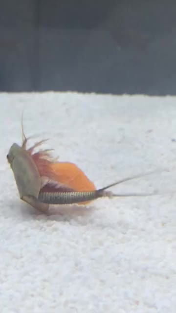 Watch and share Baby Horseshoe Shrimp Eating Carrots GIFs by babylonians on Gfycat