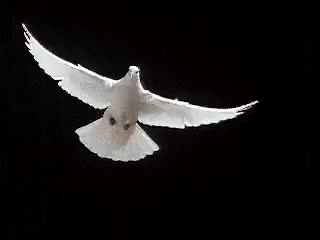 Watch and share Dove Flapping Wings GIFs on Gfycat