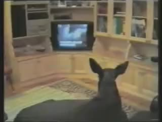 Watch moose GIF on Gfycat. Discover more animals, moose, pets GIFs on Gfycat