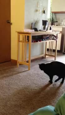 cat, squee GIFs