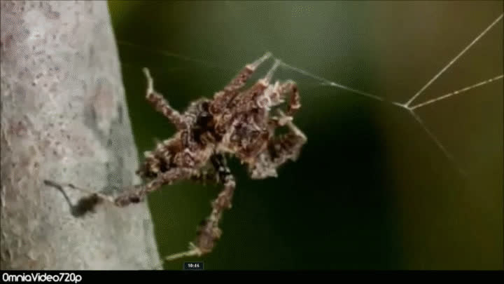 Portia Jumping Spider GIFs