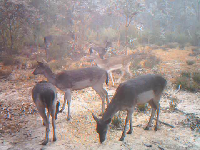 Watch and share Deer In Bushland On The Outskirts Of The ACT GIFs on Gfycat