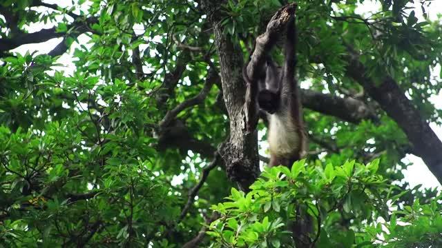 Watch El Trapecista de la Selva: El Mono Araña GIF on Gfycat. Discover more COBIUS A.C., Nonprofits & Activism, cobius, monos, monos araña, primates, selva GIFs on Gfycat