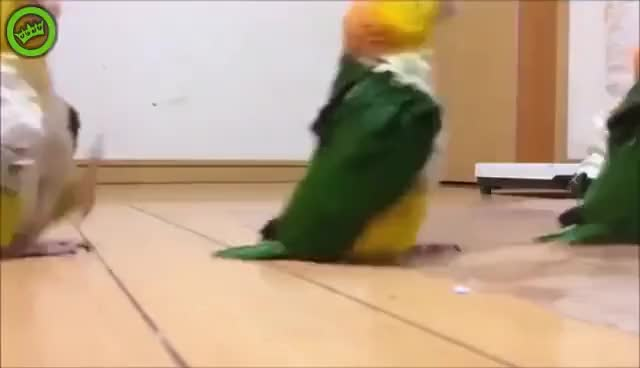 Watch and share Marching Parrots GIFs on Gfycat