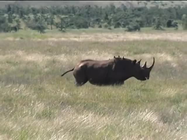 Watch kenya rhino GIF on Gfycat. Discover more Africa, Kenya, adventure, animals, beautiful, birds, conservation, documentary, elephants, funny, herd, landscapes, nature, playing, rhinos, safari, scenic, travel, wildlife GIFs on Gfycat