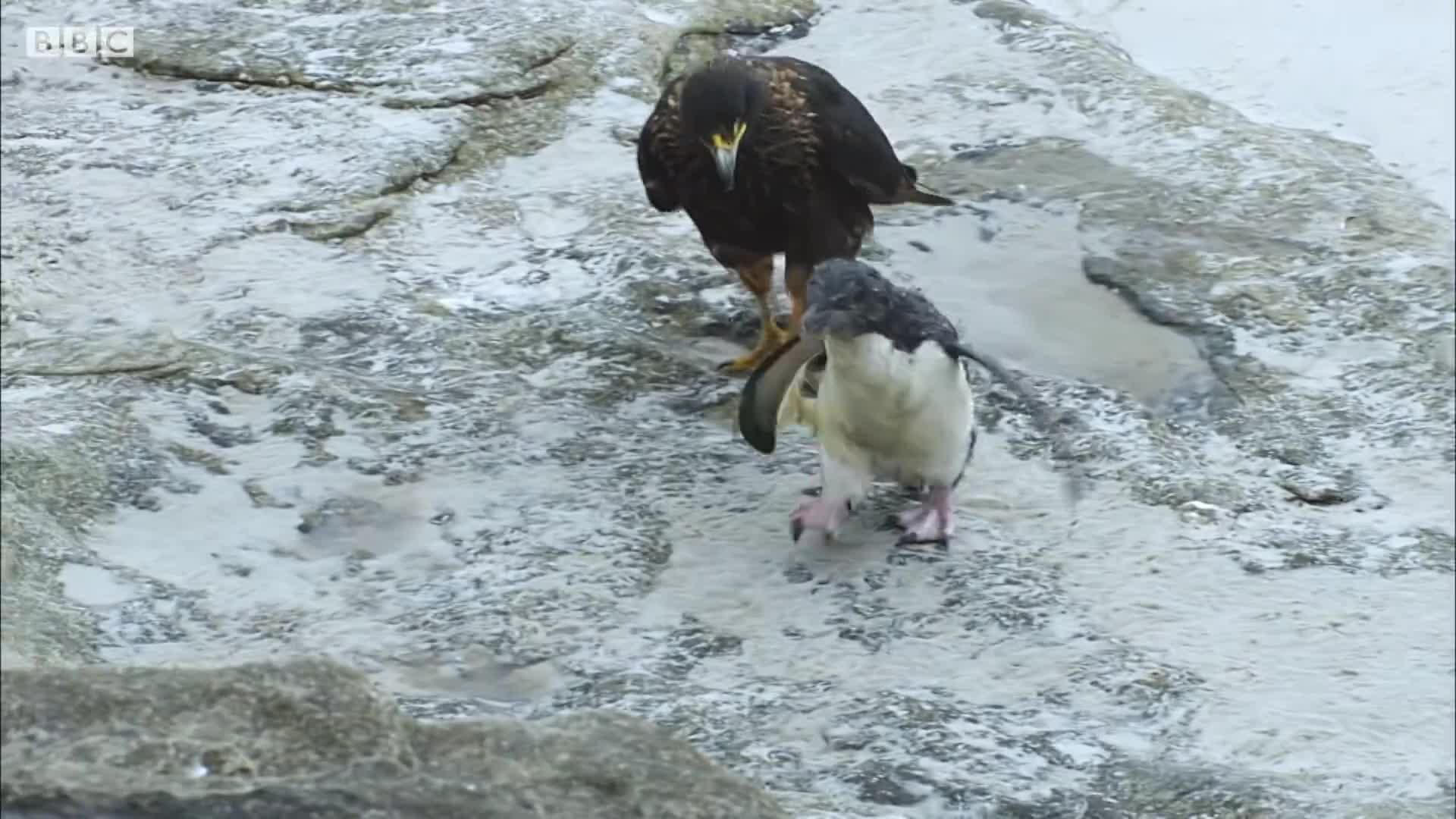 birds, ducks, nature, penguin, Steamer ducks save a penguin chick from caracaras GIFs