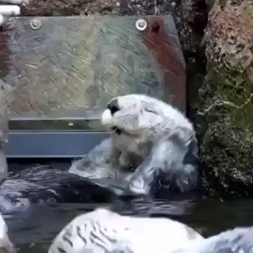 Watch this animal GIF on Gfycat. Discover more animal, animals, otter, ucn5oowjzvubxae13w9hs7wg GIFs on Gfycat