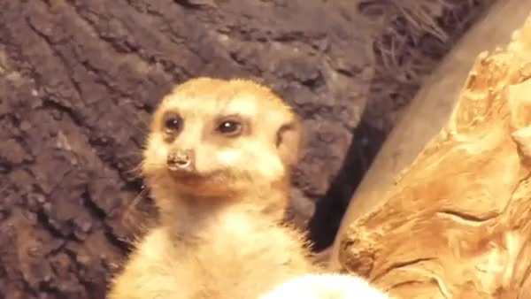 Watch Tired Meerkat GIF by @joeoftex on Gfycat. Discover more adviceanimals GIFs on Gfycat