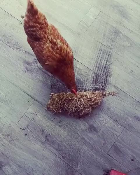 Watch Mrs Weasely helping with spring cleaning GIF by @b12ftw on Gfycat. Discover more chickensofinstagram, crazychickenlady, friendsnotfood, petchickens GIFs on Gfycat