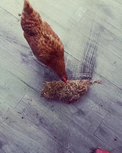chickensofinstagram, crazychickenlady, friendsnotfood, petchickens, Mrs Weasely helping with spring cleaning GIFs