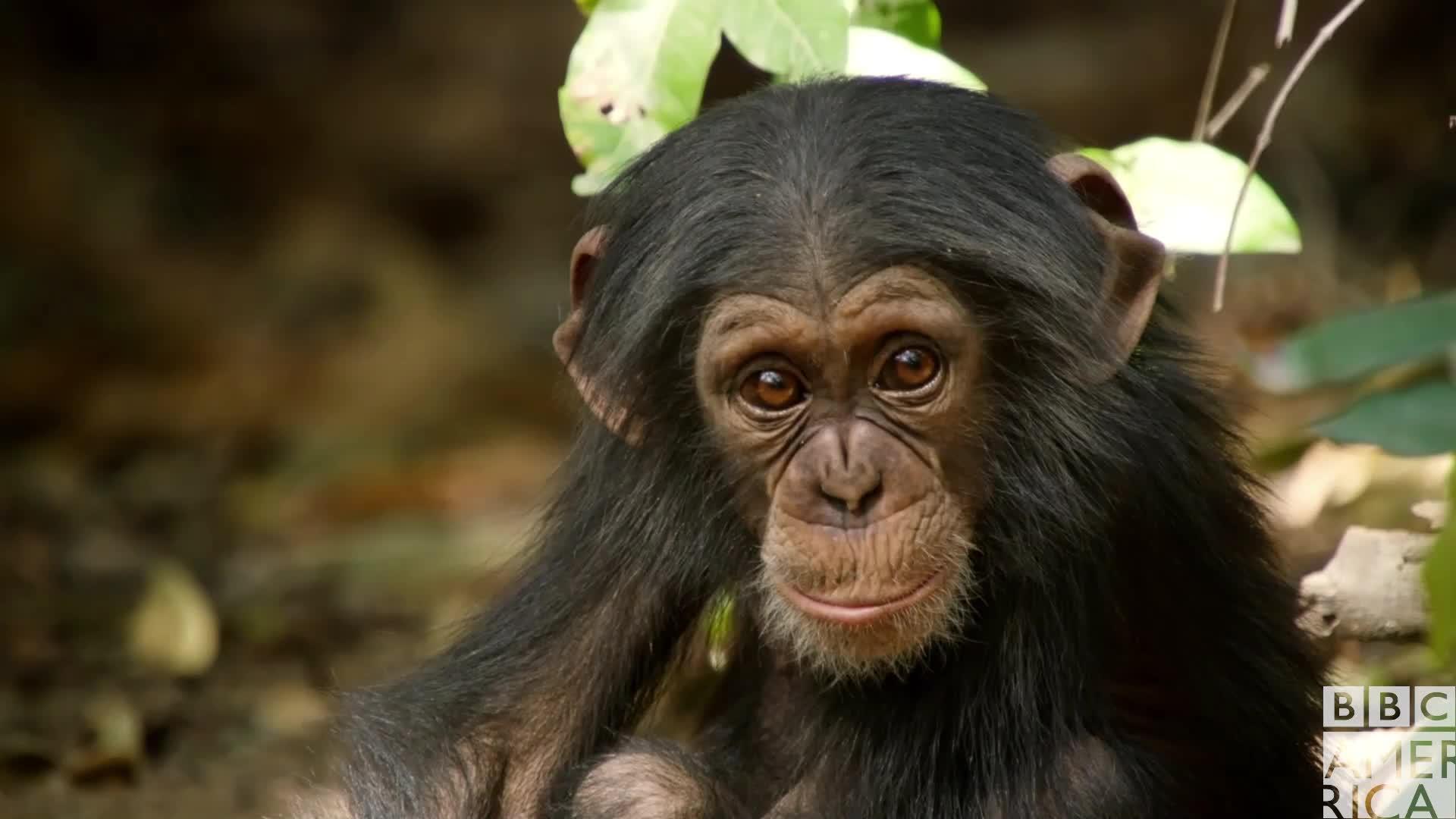 animal, animals, bbc america, bbc america dynasties, bbc america: dynasties, chimp, chimpanzee, chimpanzees, chimps, dynasties, Dynasties Sad Chimp Eyes GIFs
