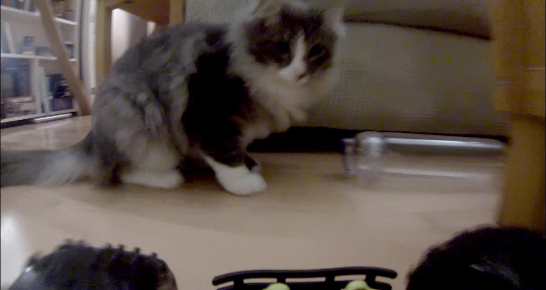 catpranks, startledcats, Hot purrsuit GIFs